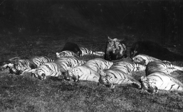 Tiger Shoot